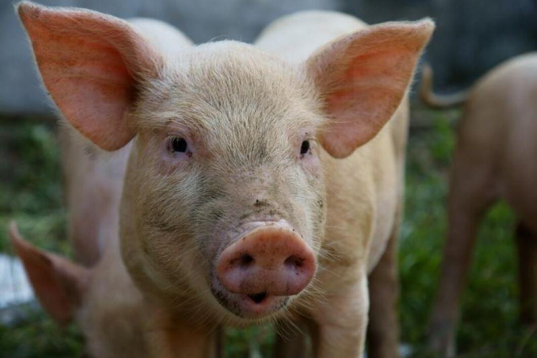 Svensk export av griskött till Taiwan hotas sedan det avslöjats att kött exporterats med falska intyg.