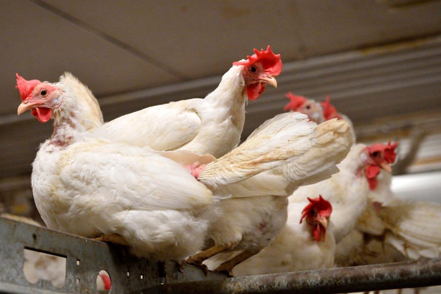 Nya fall av fågelinfluensan har upptäckts. Arkivbild.