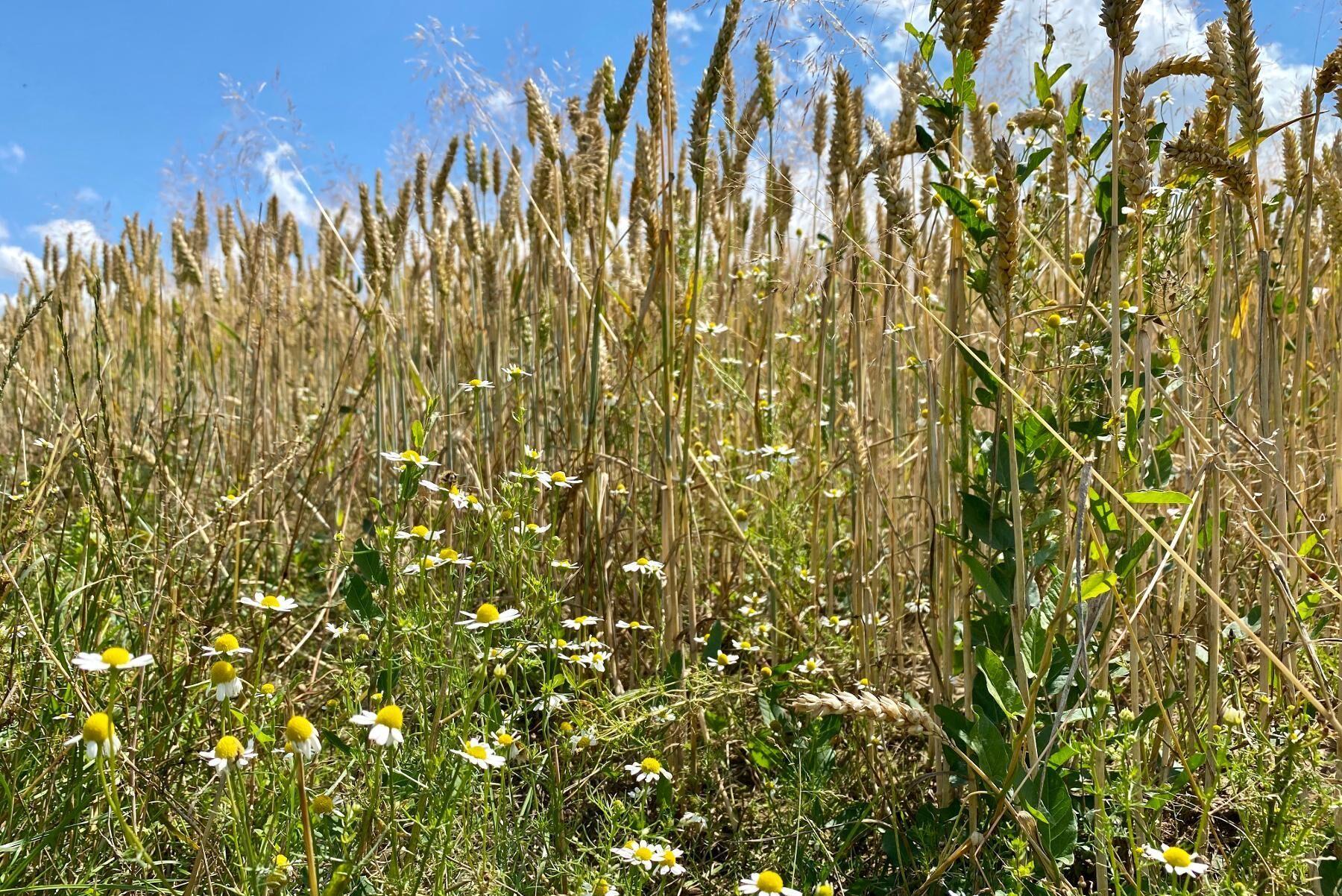Det finns många risker vid både marksamarbeten och markbyten. Vad händer till exempel vid problem med ogräs?