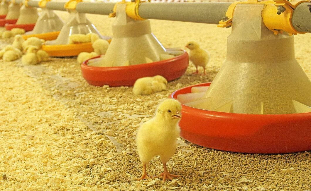 Efterfrågan på kyckling ökar också efterfrågan hos kläckeriet.