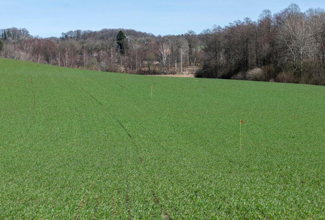 Fält med ekologiskt odlad råg i Skåne. Skåne är ett av länen med minst andel ekologiskt brukad mark i Sverige.