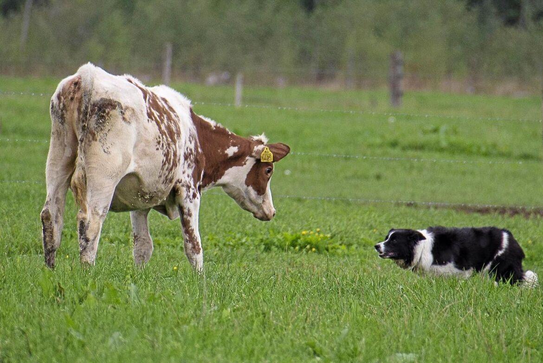 Arga leken börjar nu! En vallhund sägs kunna göra tio personers arbete när det handlar om att samla ihop, flytta eller avskilja djur.