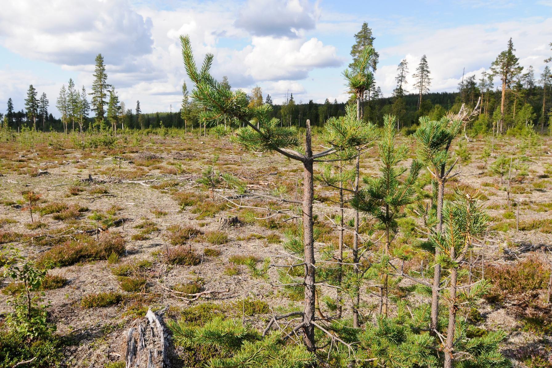 Betesskador av älg i Västerbotten. Arkivbild.