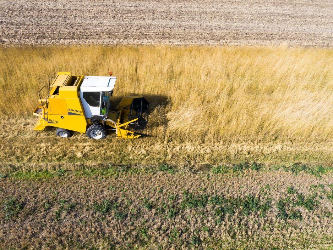 Kernzan som odlas på SLU:s försöksgård Lönnstorp tröskades nyligen. Grödan är tillgänglig för de flesta som vill studera olika aspekter av den.
