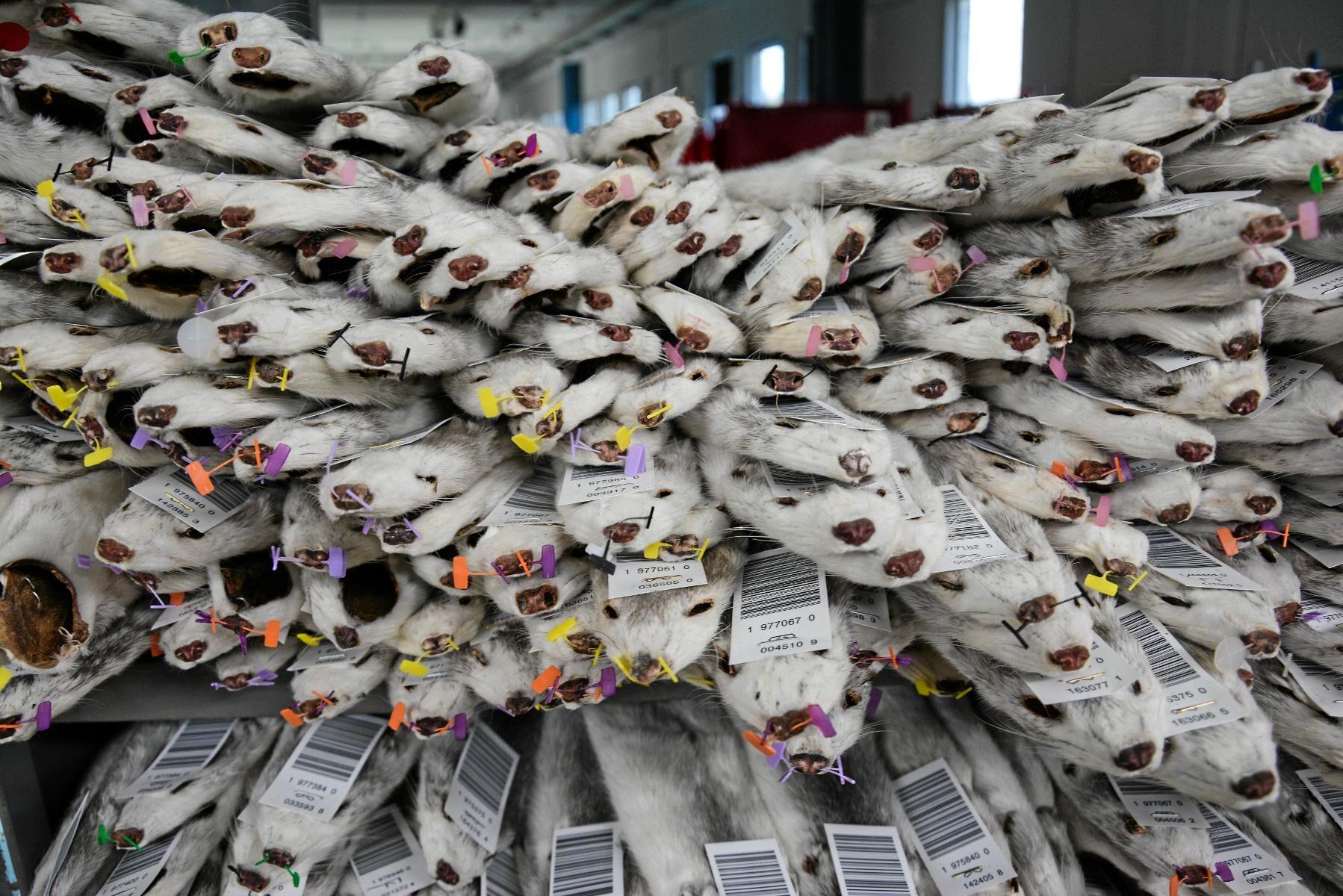 Irland och Norge förbereder förbud av den inhemska pälsproduktionen.