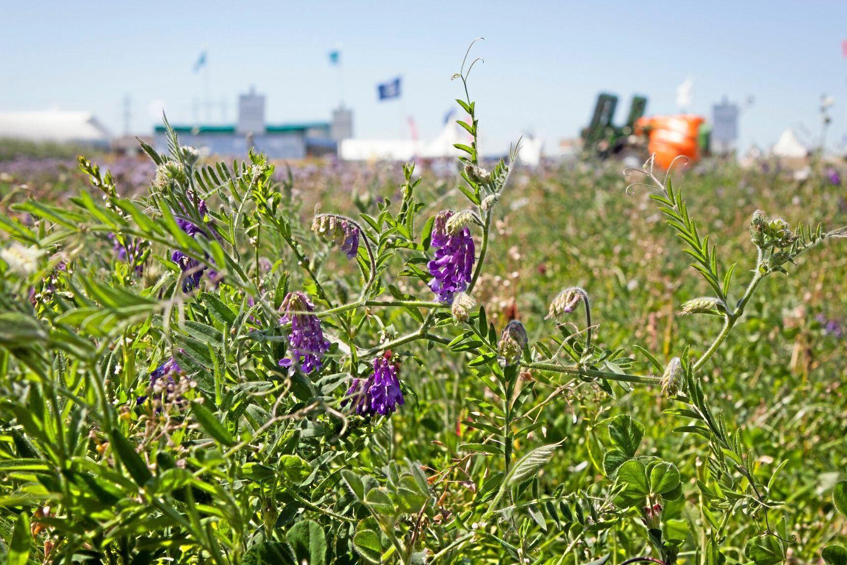 Odling med luddvicker, blodklöver och italienskt rajgräs. Just rajgräs är vanligt när vallen ska förbättras.
