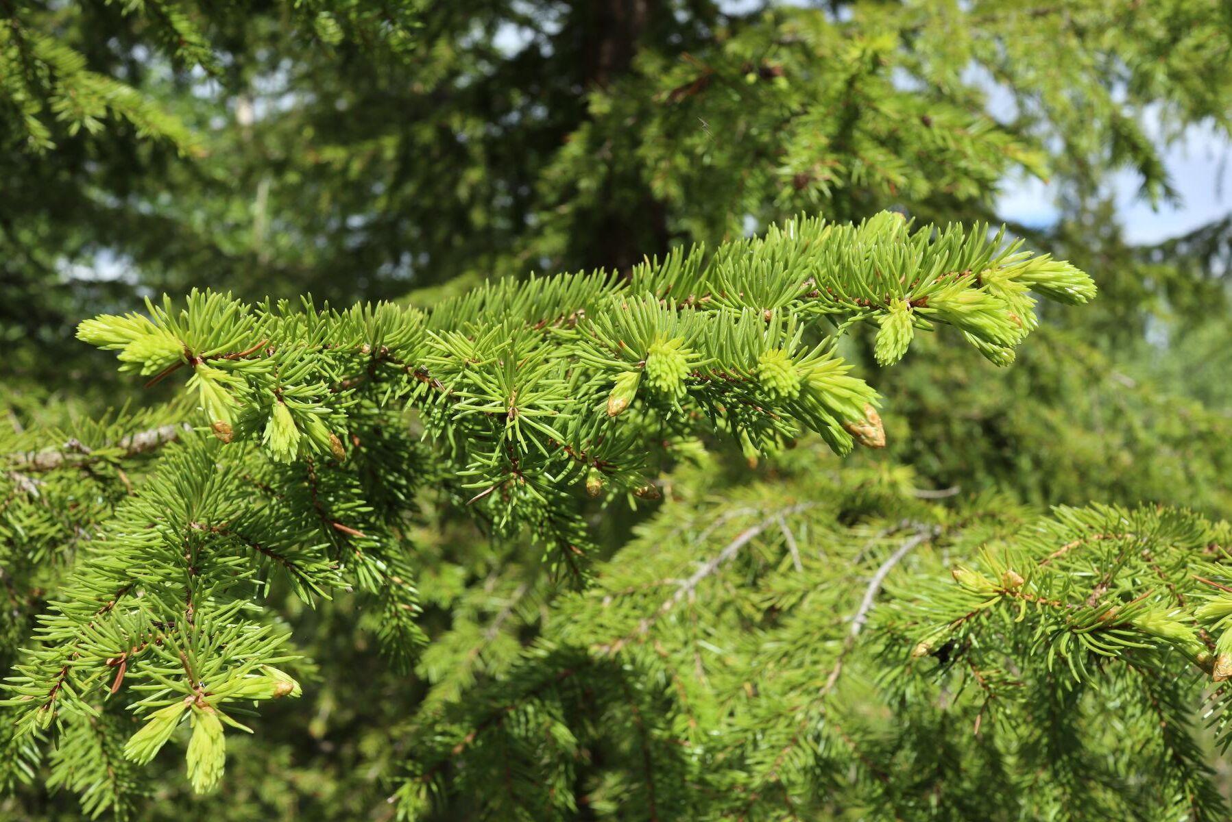 Den genetiska variationen i granskogar skiljer sig inte nämnvärt mellan unga planterade skogar och äldre granskogar i naturreservat, sisar en ny avhandling.