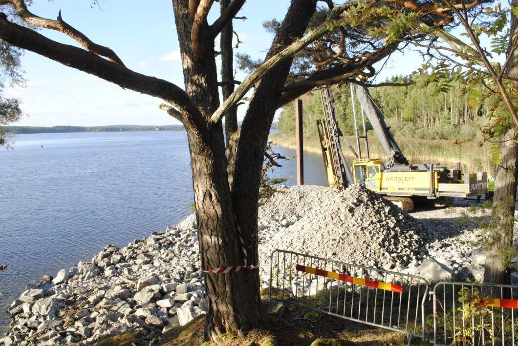 De tre 220-åriga tallarna som ska bort för att dammbygget ska kunna fortsätta i Arvika.
