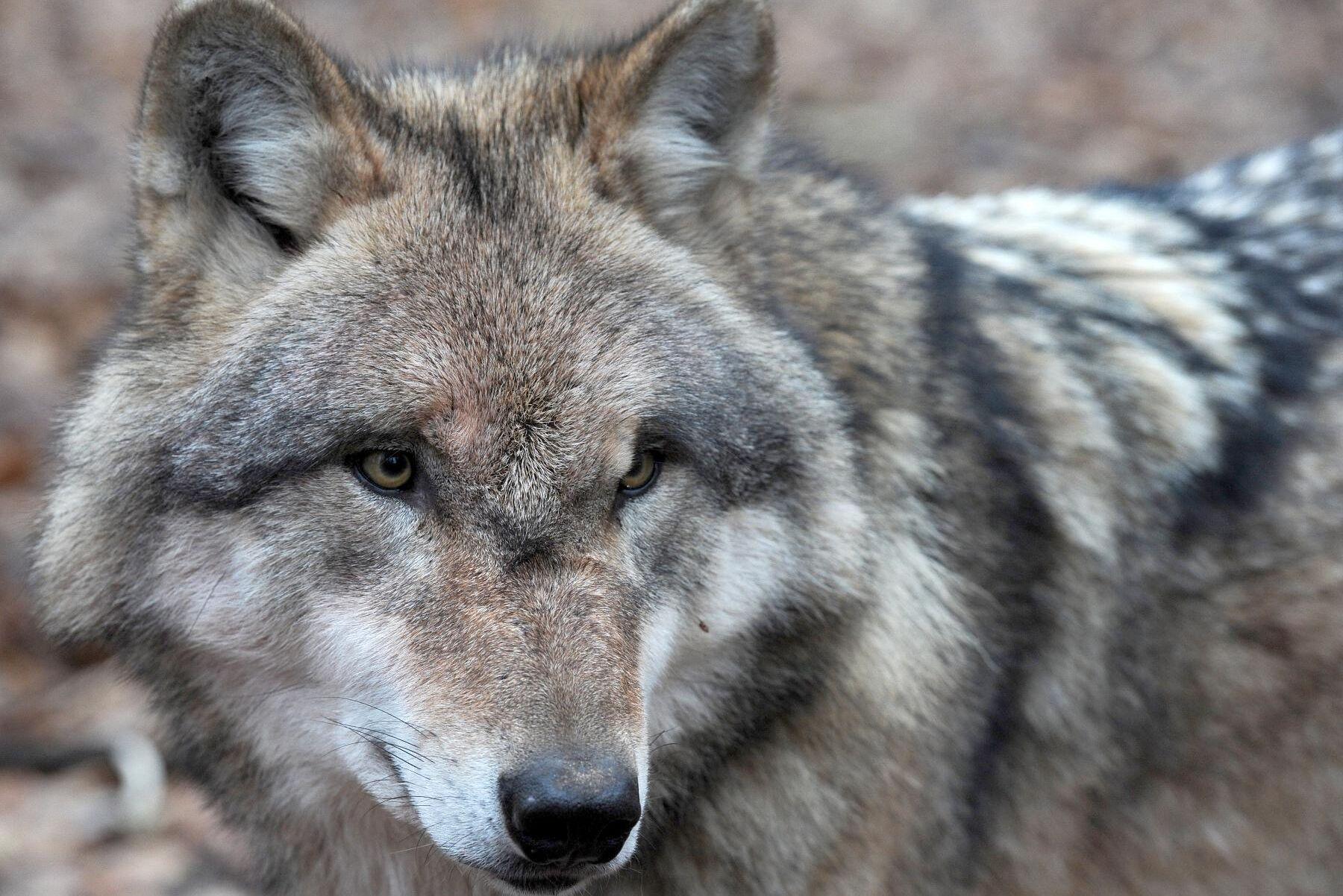 En ung varg från det så kallade Siggeforareviret misstänks ligga bakom angreppet på får i Tärnsjö. Arkivbild.