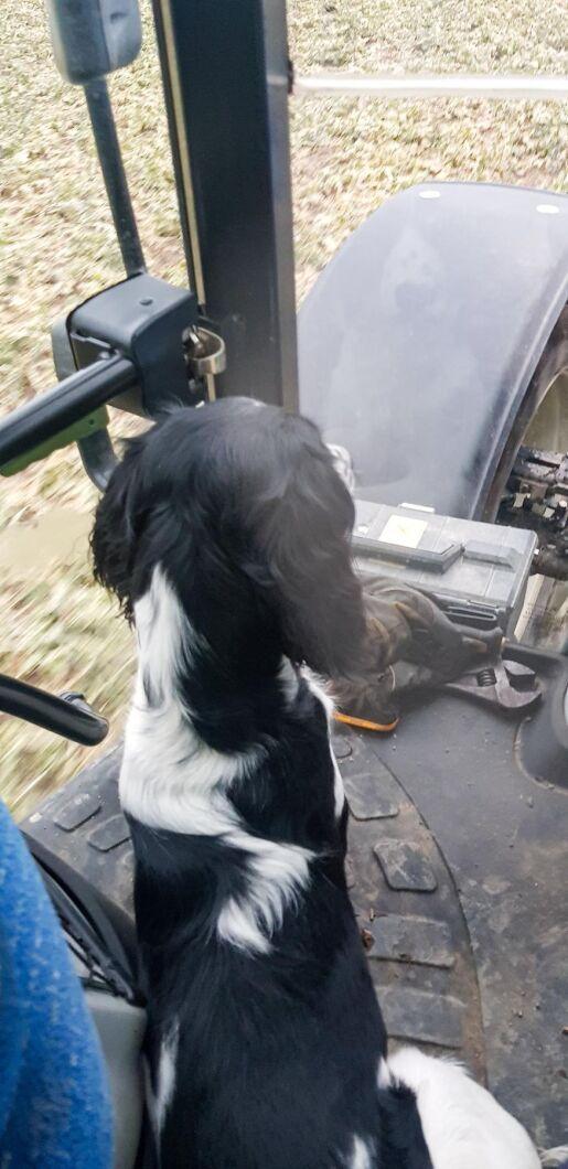 Hunden Ozzie är med i vårbruket på Ven.