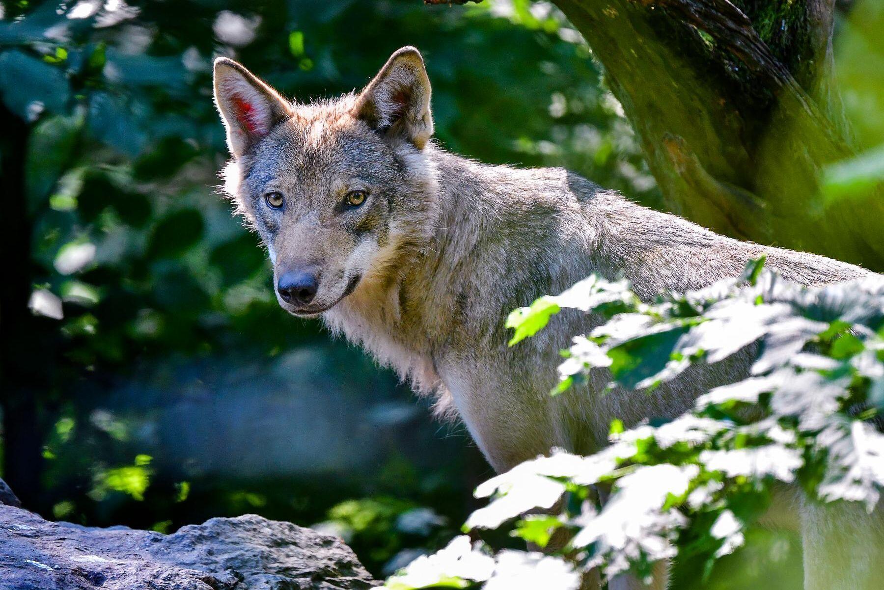 Schweiz röstade nej till ett lägre skydd för vargar.