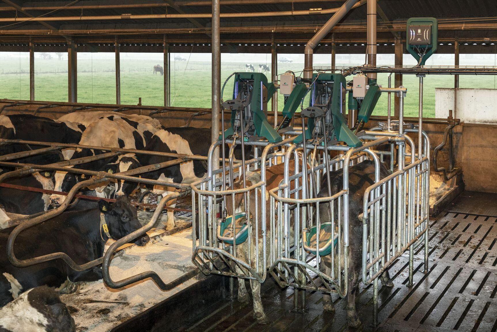 Helt frivilligt och utan stresspåslag ska Hanskamps ko-toa stimulera djuren att släppa ifrån sig urinen. Renare golv, bättre djurhälsa och renare gödselfraktioner är tre av fördelarna.