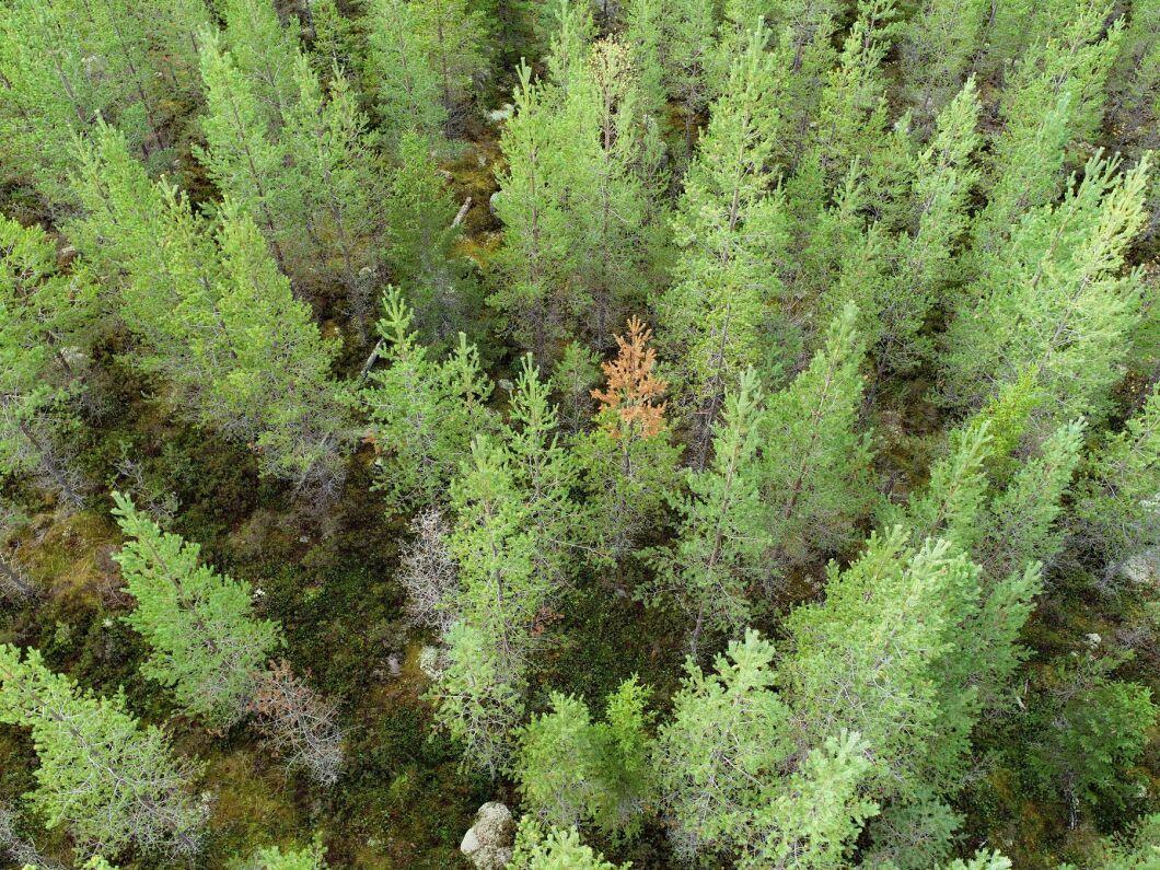 Här och där i ungskogen ses röda tallar som drabbats av törskate.