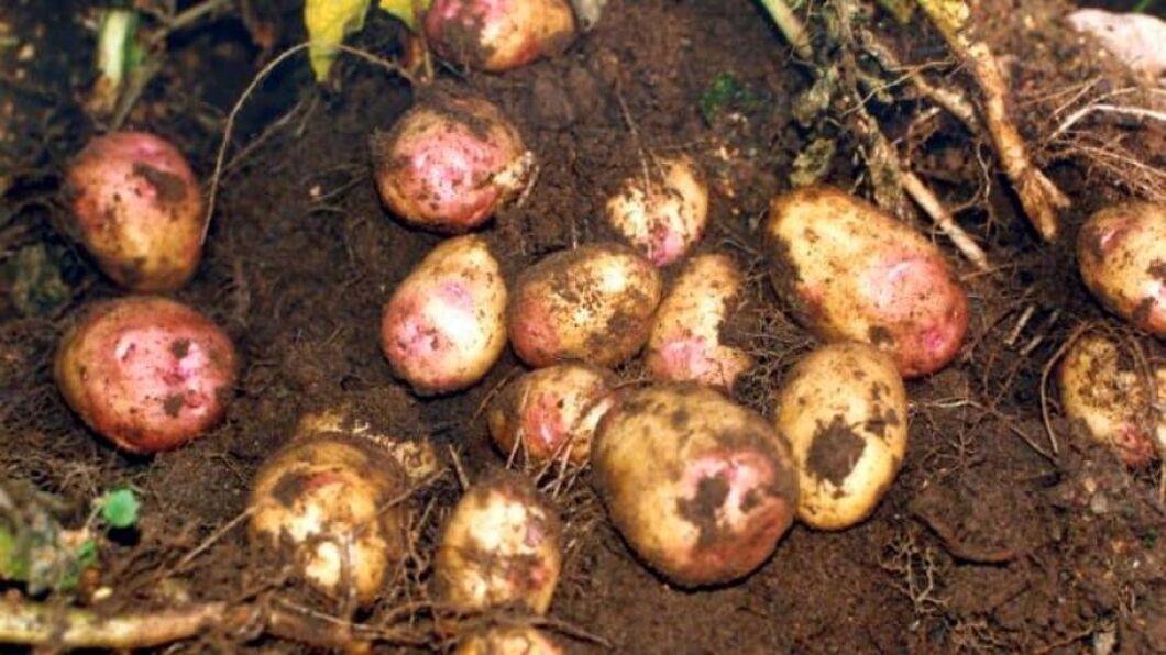 Förutom det första fallet av den fruktade rotgallnematoden i Halland i somras konstaterades två nya fall hos potatisodlare i Skåne under hösten visar Jordbruksverkets inventering.