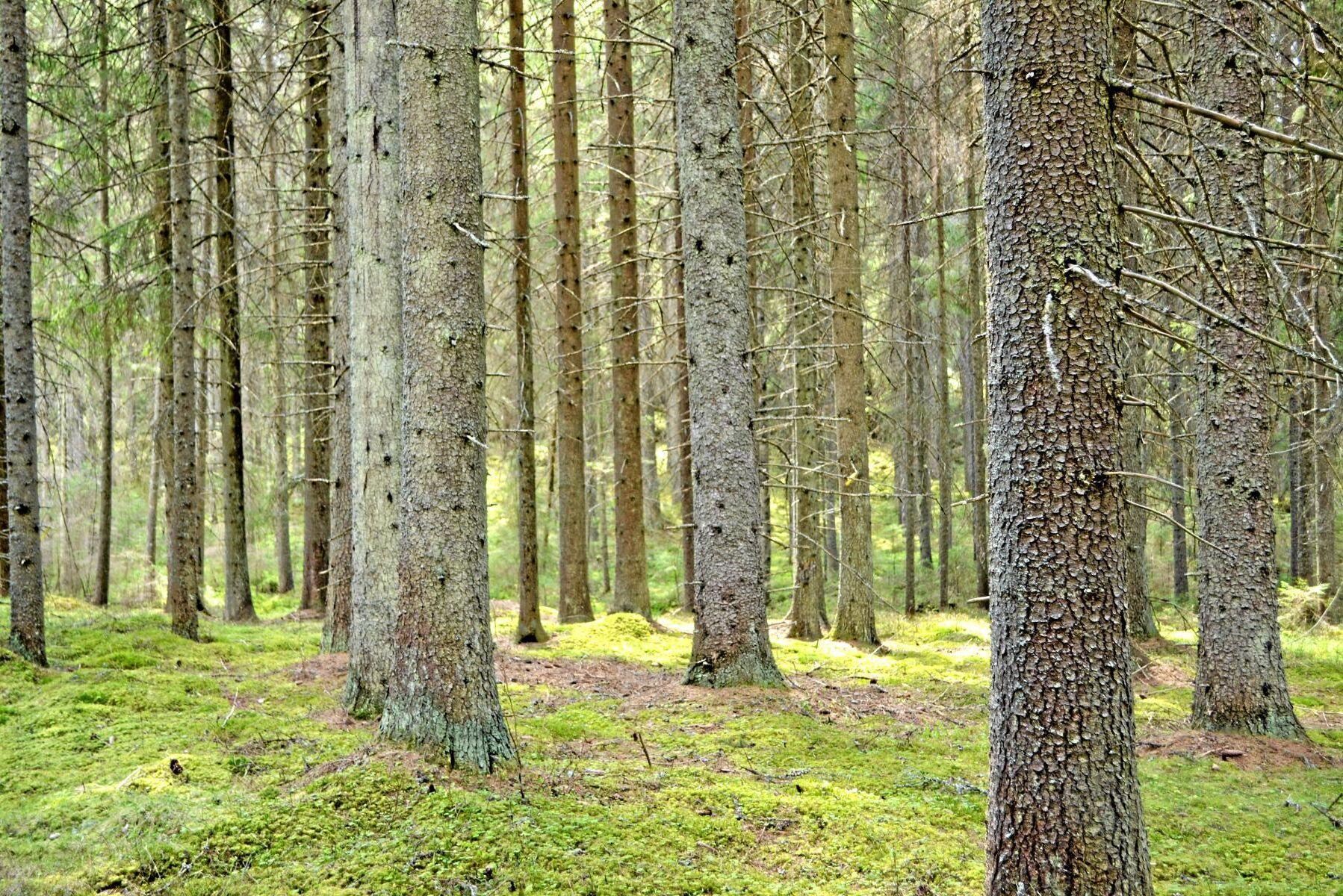 Brist på vatten får trädet att stänga klyvöppningarna vilket stoppa fotosyntesen. Och med stängda klyvöppningar kan träden inte heller kyla ned sig genom avdunstning, vilket i sin tur kan led till torkskador.