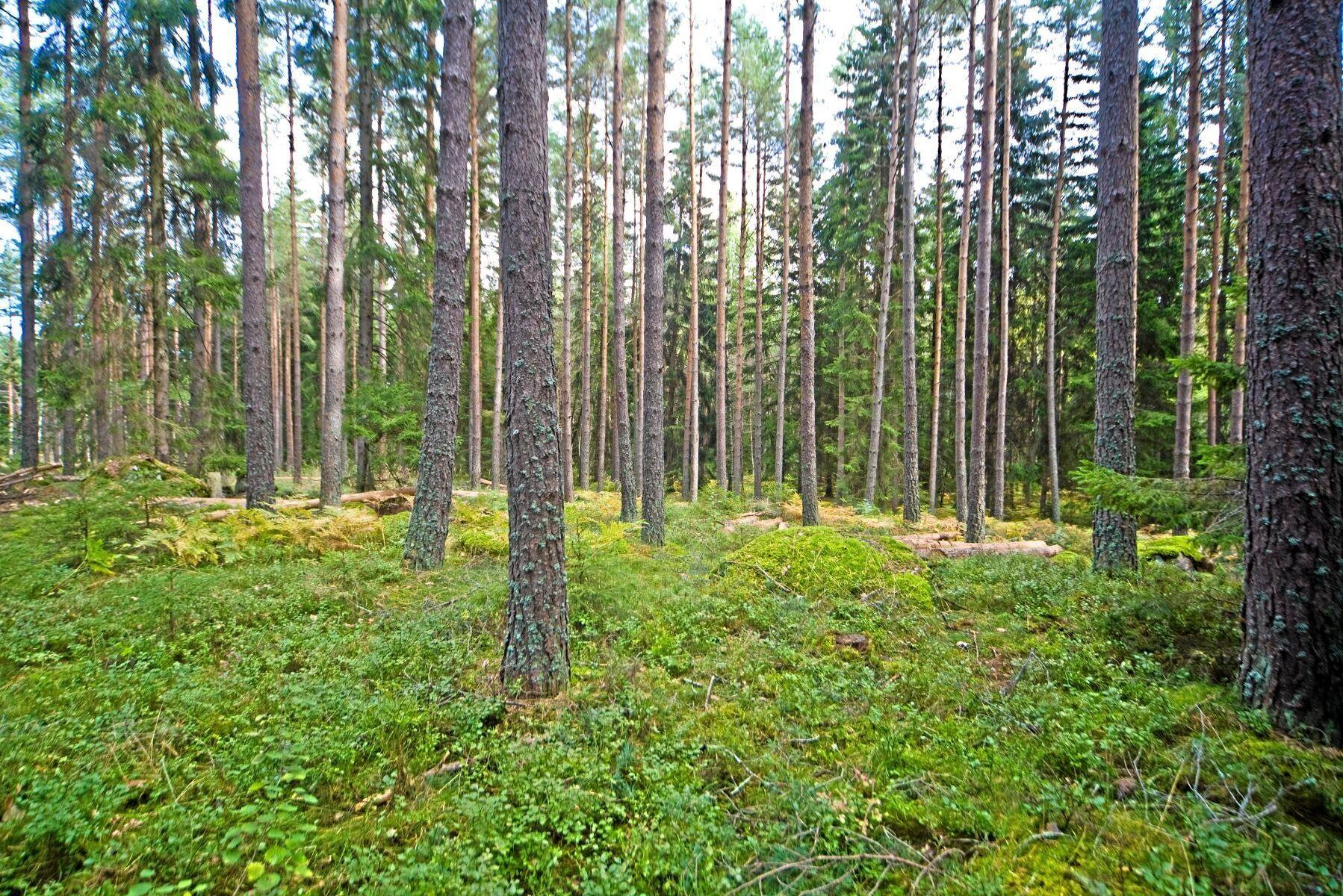 I en tallskog är det alltid ljusare än i en granskog, oavsett ålder. Det ger mer bärris som viltbete på marken.