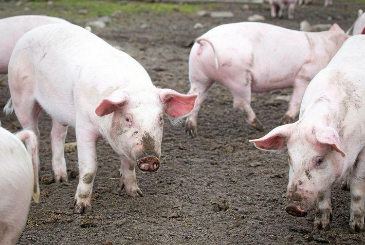 Frigående grisar.