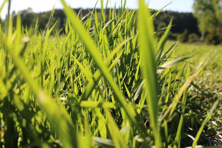 Närbild, fält med rörflen.