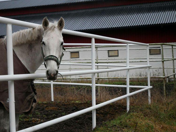 Vit häst i hage.