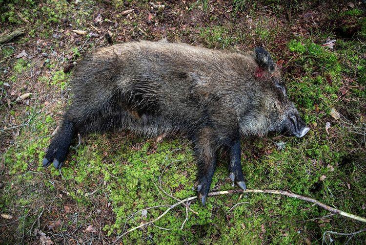 Ett skjutet vildsvin.