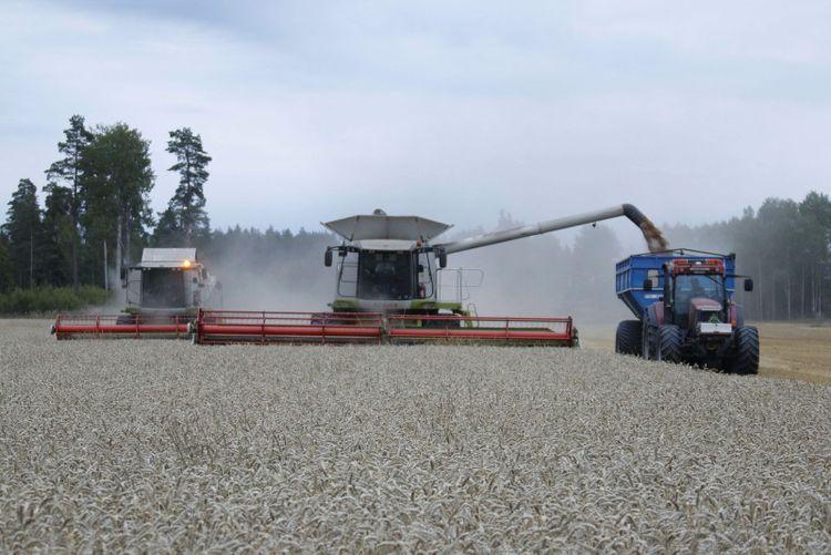 Flygande tömningar ökar avverkningen radikalt men det kan vara stressigt att serva två stora Claas-tröskor i höstvete.