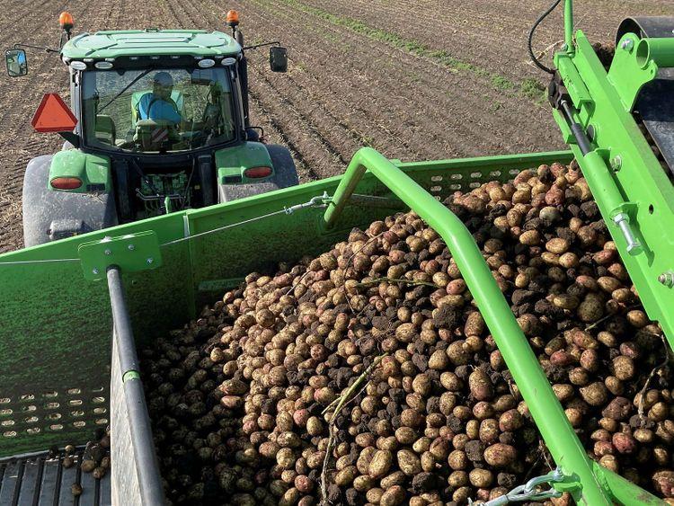 Potatisupptagning på åker.