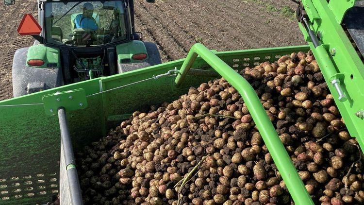 Kraftiga regn sänker potatisskörden