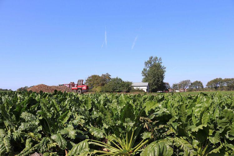 Sockerbetor som växer på en åker.