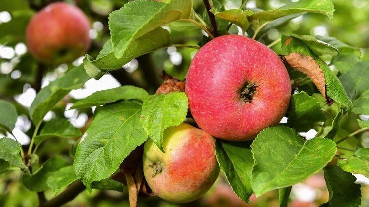 Ett ton frukt borta från fruktodlares ägor