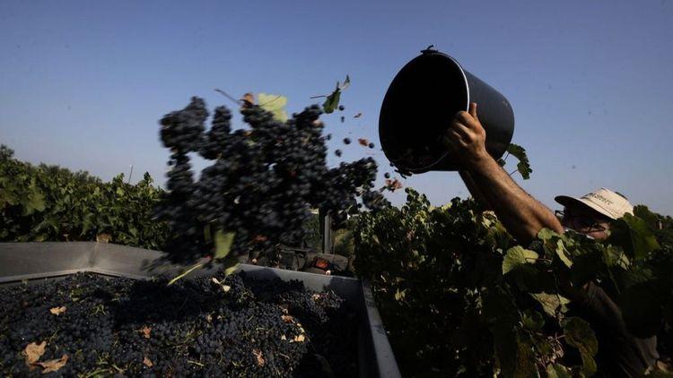 Dåliga arbetsvillkor på italienska vingårdar