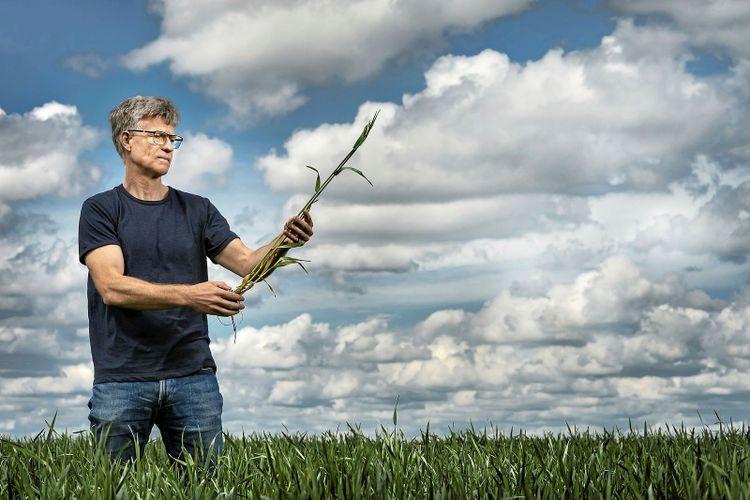 Göran Bergkvist står i ett fält och håller i några strån av råg.