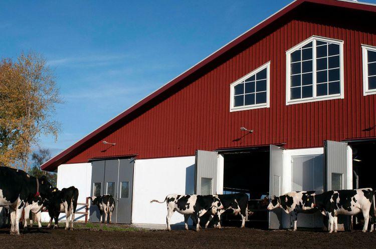 Ladugården blev klar vintern 2021. Gården har i dag cirka 195 mjölkande kor men väntas ha 230 i januari när fler kvigor kalvat in under hösten.