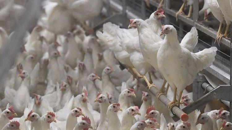 Var fjärde höna försvann i influensakaoset