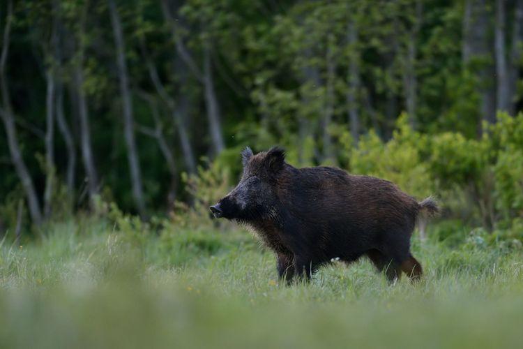 Vildsvin i utkanten av en skog.