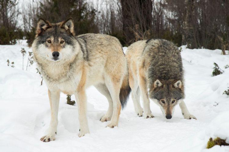 Vargar i snölandskap.