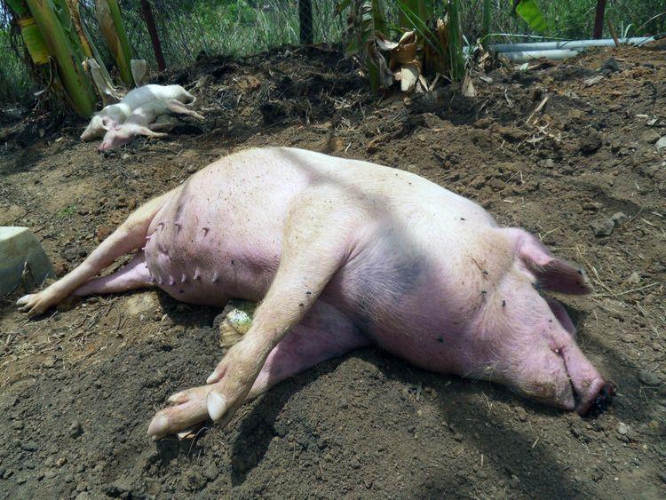 Gris drabbad av afrikansk svinpest.