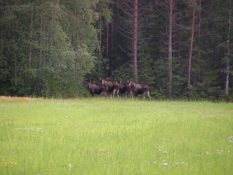 En grupp älgar står i ett skogsbryn.