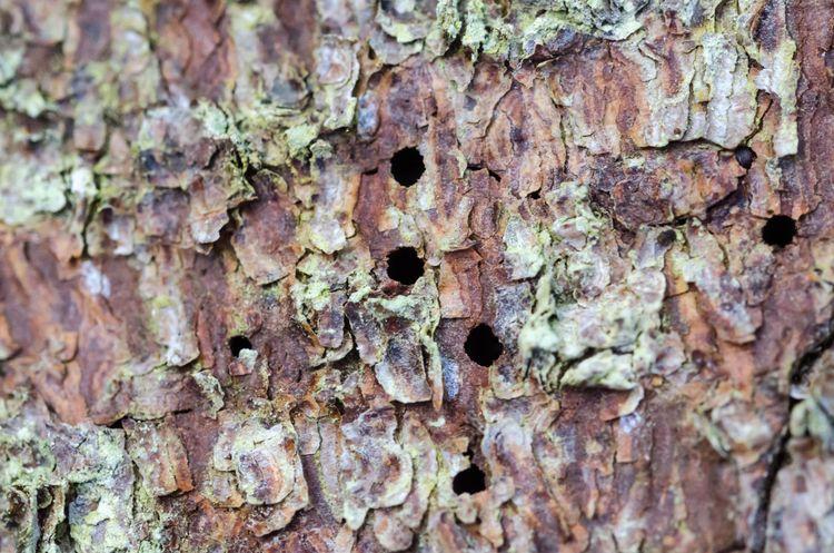 Små ingångshål i barken är ett tidigt tecken på angrepp av granbarkborre.
