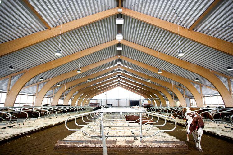 Ladugård med kor, limträbalkar i taket.
