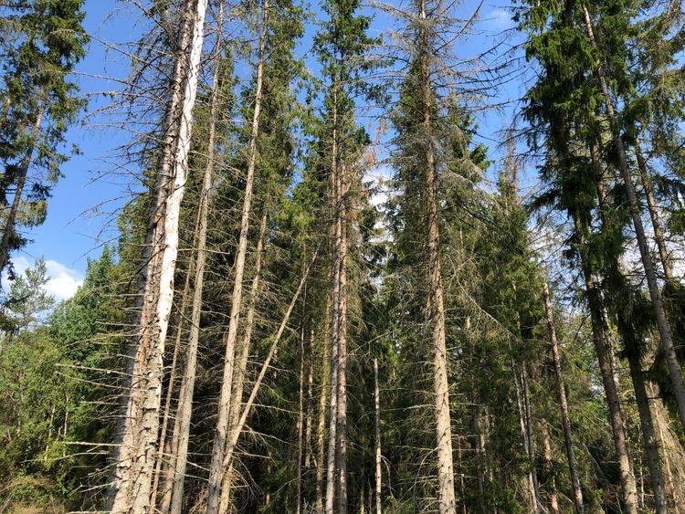 Granar som dött efter angrepp av barkborre.