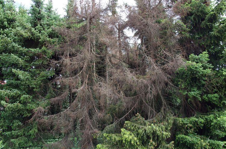 Ungefär fyra veckor efter att de övervintrade barkborrarna lagt en första kull är de redo att lägga ytterligare en. Därför behöver skogen inspekteras minst en gång i månaden.