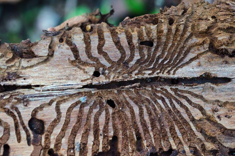 Modergång av granbarkborre med sidogångar efter larverna.