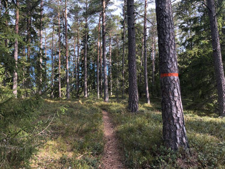 Stig genom gammal skog.