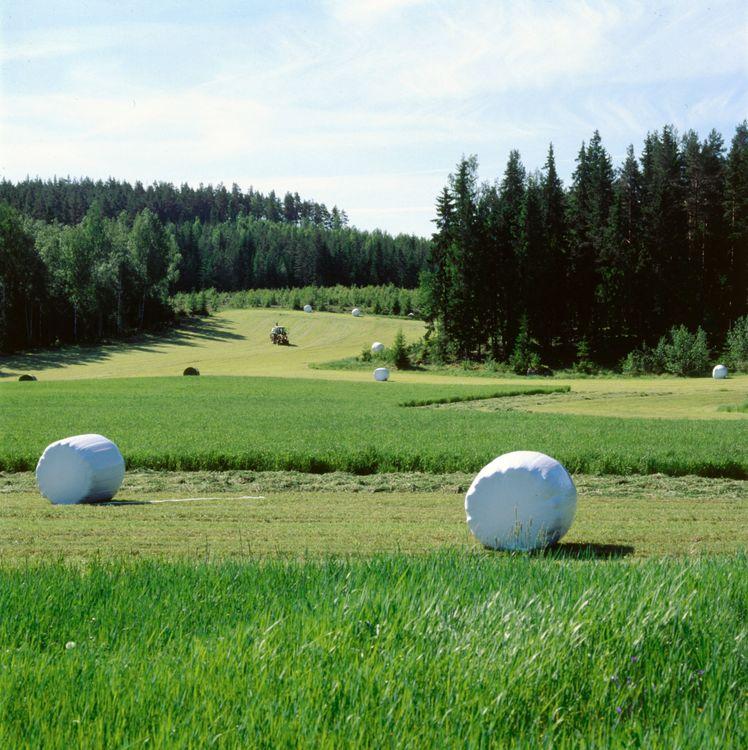 Vita ensilagebalar står utspridda på ett fält.