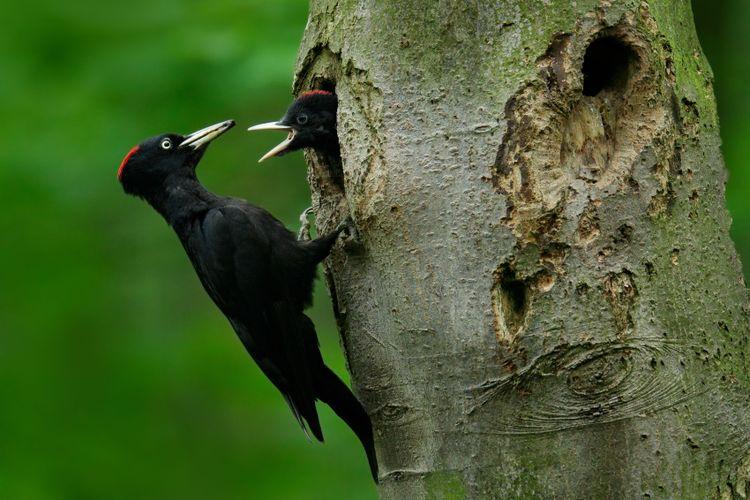 En spillkråka matar sin unge som sticker ut huvudet ur ett bohål i ett träd.