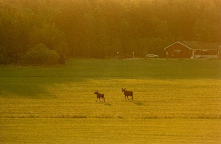 Två älgar står på åker i soluppgången.