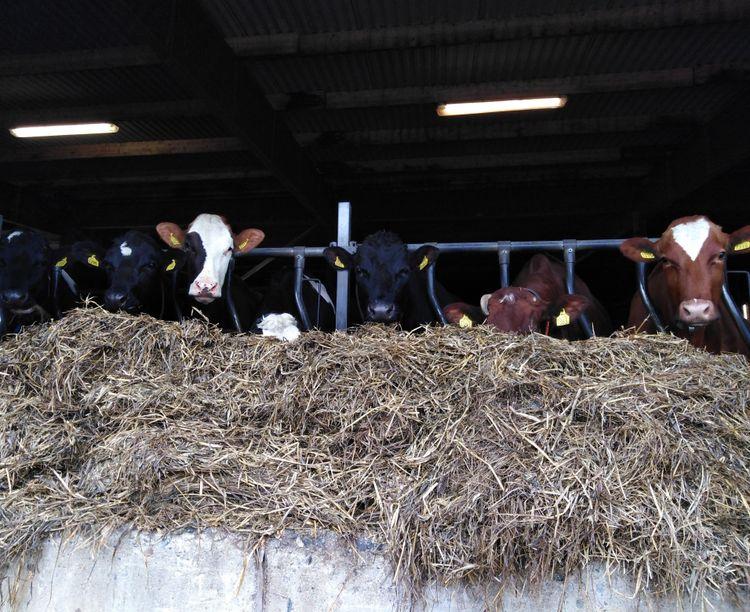 Mjölkkor i stall