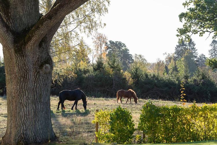 En bild på hästar som betar i hagen.