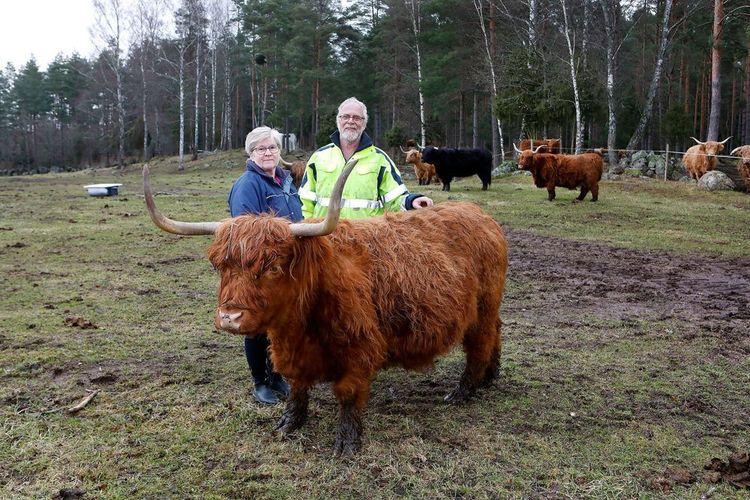 Birgitta Nors och Evald Palmér bakom en Highland Cattle.