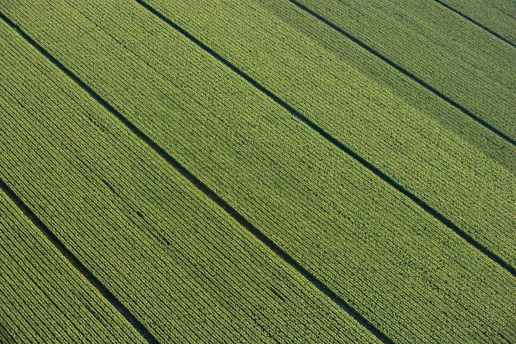 Grönt majsfält i södra Sverige fotograferat ovanifrån.